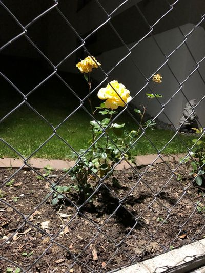 Plant Fence Flower Nature Flowering Plant Boundary Chainlink Fence Fragility Barrier Vulnerability  No People Security Yellow Protection Visual Creativity