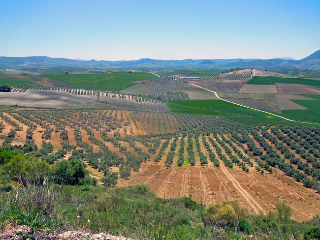 Die Straßen von Andlusien Agriculture Andalucía Andalucía Nature Landscape Nature Olive Tree On The Road Rural Scene Scenics The Way Forward Tranquility Vast Vast Landscape Vineyard Winemaking