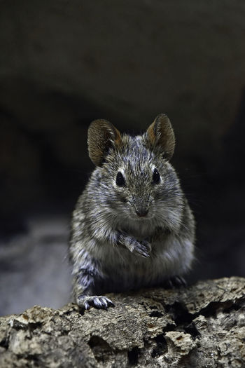 Close-Up Portrait Of Mouse On Rock