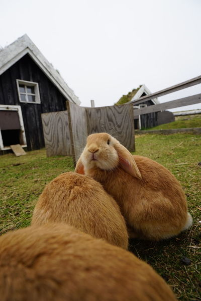 Animal Themes Architecture Building Exterior Built Structure Bunniesworldwide Bunny  Day Domestic Animals Easter Bunny Easter Ready Field Grass Iceland House Iceland Memories Iceland Trip No People Pets Rabbits Relaxation Resting Ring Road Side View Sky Two Animals