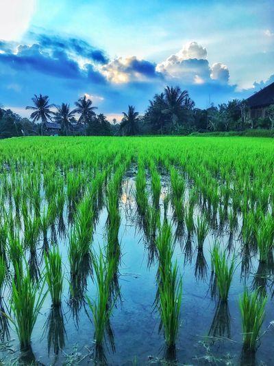 Rice fields in