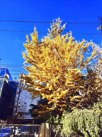 autumn Tree Nature Day Low Angle View No People Blue Cable Outdoors Growth Beauty In Nature Sunlight Sky Clear Sky Branch Architecture