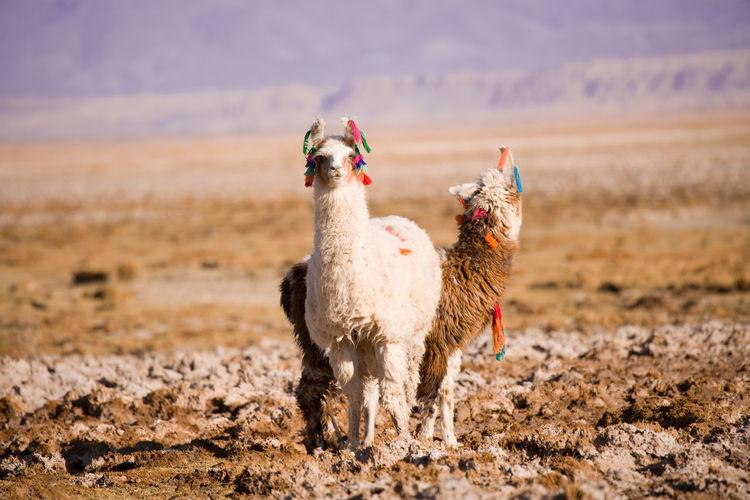 Portrait of llama standing on field