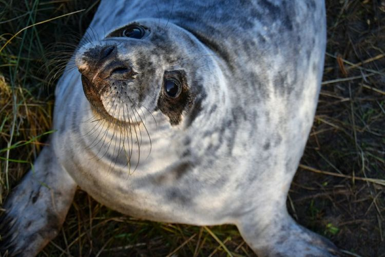 One Animal Close-up Animal Themes Day Outdoors No People Mammal Seal Donna Nook Animals In The Wild Animal Eye Beautiful Animal Seal - Animal EyeEm Best Shots