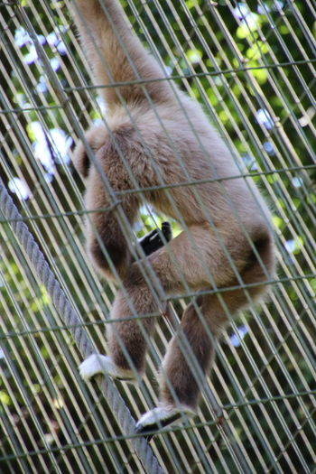 Gibbon in cage at zoo