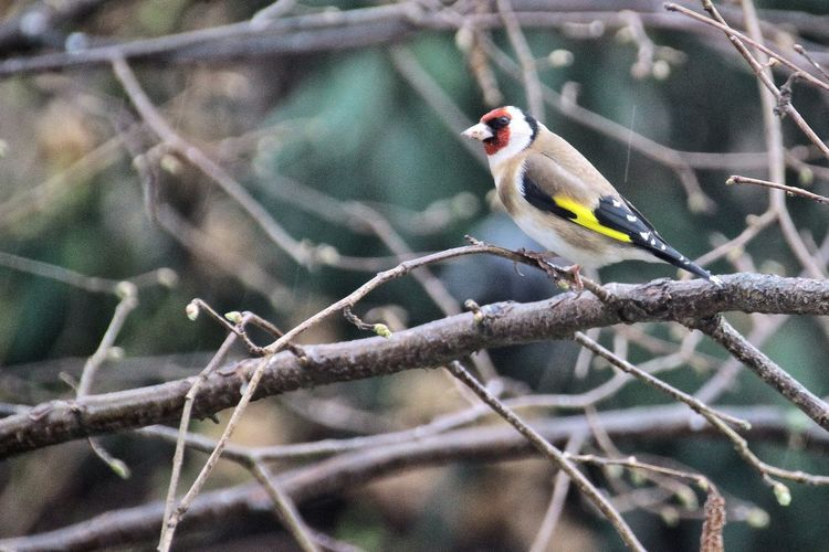 Close-up of gold finch perching on bare tree branches