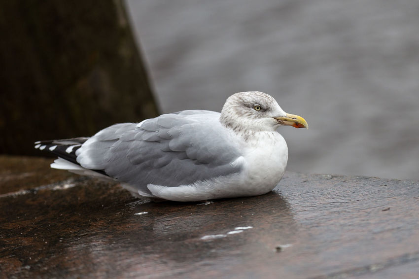 Animal Themes Animal Wildlife Animals In The Wild Bird Close-up Day Nature No People One Animal Outdoors Perching Seagull