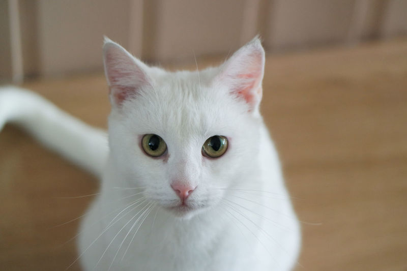 Animal Head  Animal Selfie Animal Themes Cat Cat Selfie Catselfie Catselfies Close-up Domestic Animals Domestic Cat Feline Focus On Foreground Indoors  Looking At Camera Mammal No People One Animal Pets Portrait Whisker White Cats
