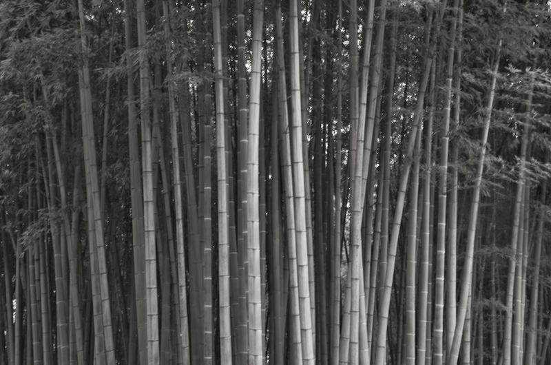 Forest Bamboo - Plant Bamboo Plant Tree Land Growth Bamboo Grove No People Full Frame Tranquility Nature Beauty In Nature Day Abundance Backgrounds Outdoors WoodLand Close-up Pattern