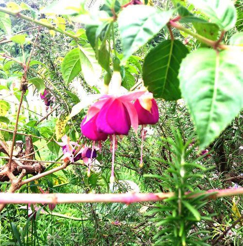 Beauty In Nature Flower Capitola River Walk, Quaint Vintage. River Front. Purple & Pinks