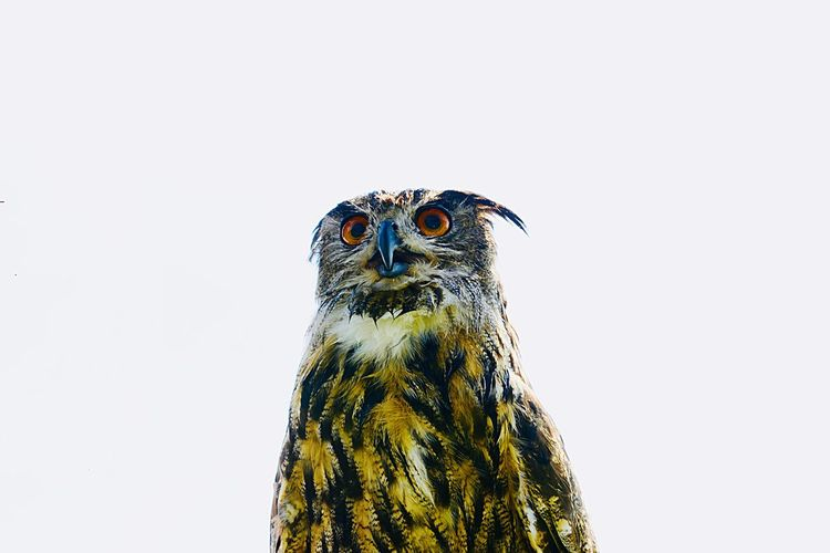 Low Angle View Of Owl Against White Background