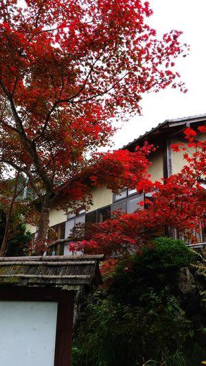 🍁🍁🍁 Japanese Maple Tree Autumn🍁🍁🍁 Oume City