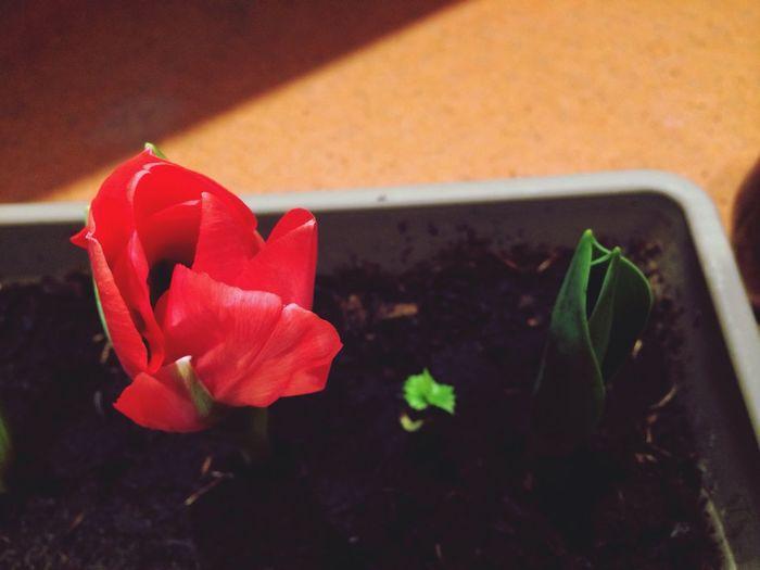 bloom tulips First Eyeem Photo