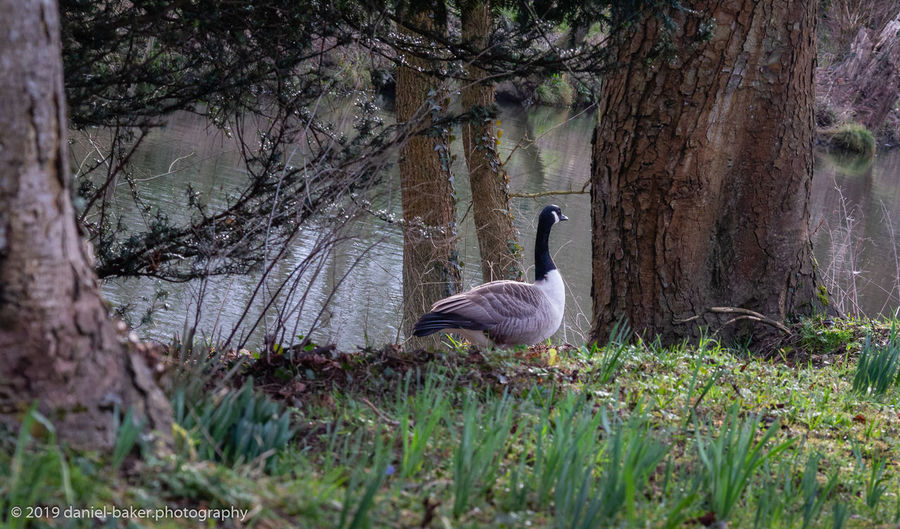 Animal Wildlife One Animal Animals In The Wild Goose Riverbank Flowers Outdoors Nature No People