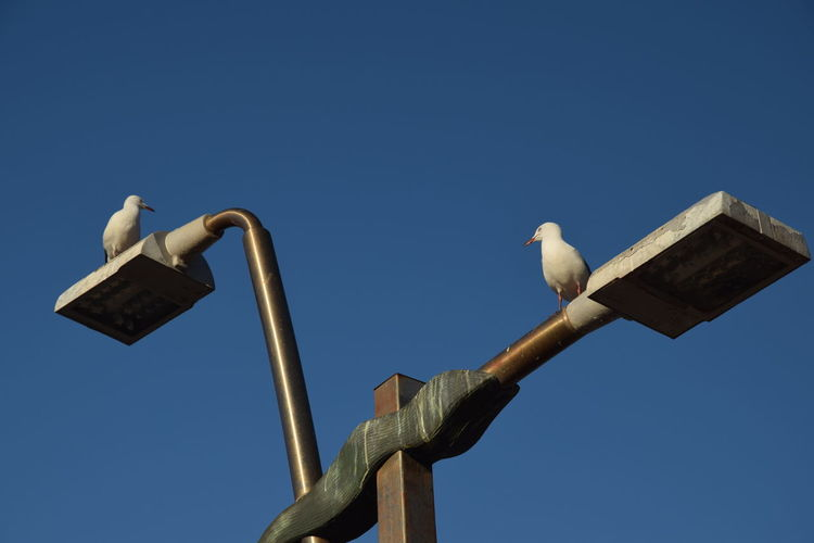 Gulls Gull