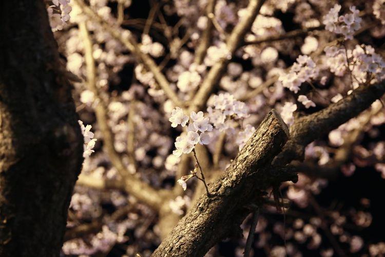 진해 벚꽃 진해군항제 진해벚꽃축제 벚꽃명소 벚꽃 오래된 Tree Branch Forest Pinaceae Sunlight Insect Pine Tree Close-up Animal Themes Blooming