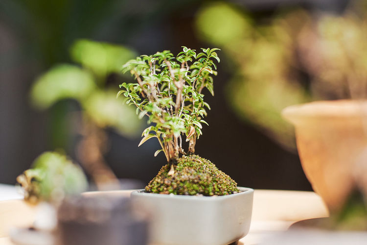 Bonsai Tree Plant Growth Potted Plant Green Color No People Close-up Nature Selective Focus Day Beauty In Nature Focus On Foreground Outdoors Botany Plant Part Freshness Table Leaf Front Or Back Yard Beginnings Small Flower Pot