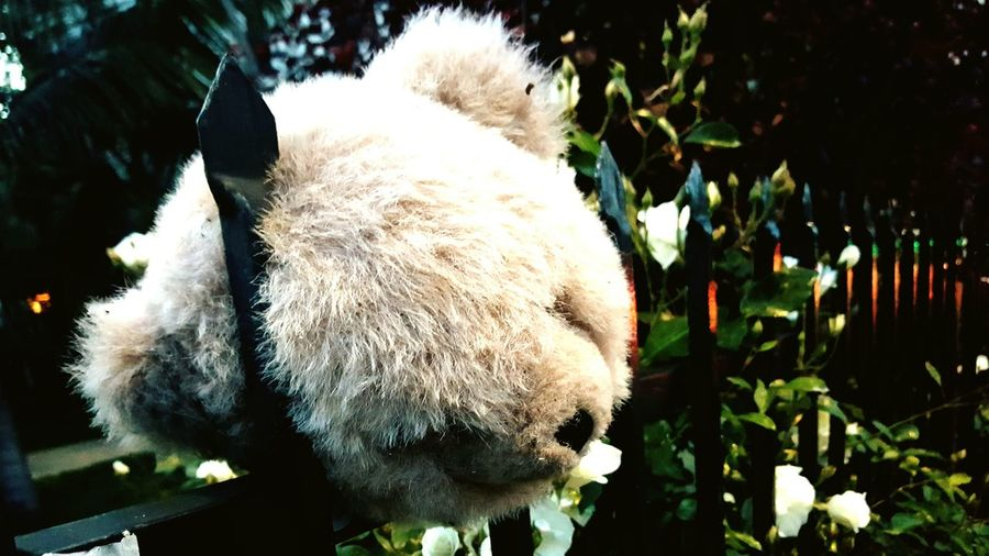 Long Goodbye Teddy Bear Strange Generation White Roses Metal Fence Hollywood Neighborhoods Last Goodbye