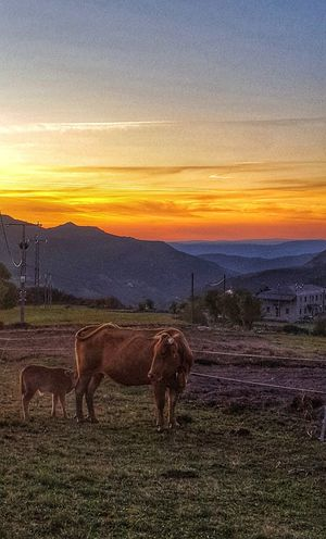 """"""" O que non chora , non mama """" """" el que no llora , no mama """" Sunset Sky Animal Themes Nature One Animal No People Domestic Animals Beauty In Nature Scenics Cloud - Sky Outdoors Mammal Day EyeEmNewHere EyeEm Selects Nature Mountain Rural Scene Animal Agriculture Galicia, Spain"""