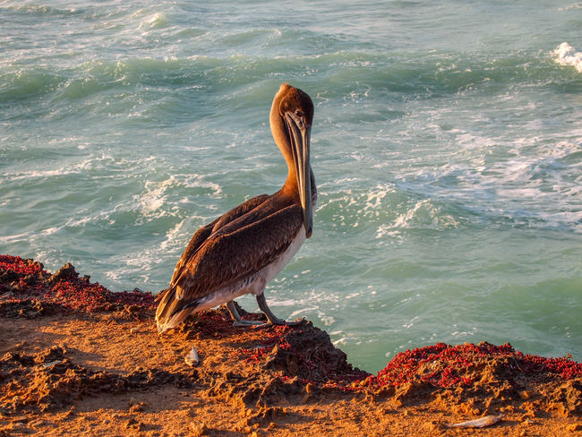 Cuba Cuba Collection Cuban Sunset Animal Themes Animal Wildlife Animals In The Wild Beachphotography Beauty In Nature Bird Day Nature No People One Animal Outdoors Pelican Pelican Birds Sea Sea Life Sunset Water