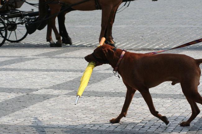 Dog Umbrella Yellow Umbrella Prague
