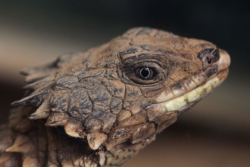 Lizard Animal Wildlife Animals In The Wild Close-up Focus Eye Focus Point Macro Nature No People One Animal Outdoors Reptile Scales