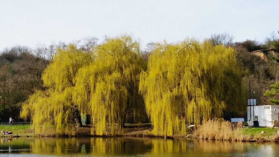 Willow Easter Tree Yellow Nature Lake And Trees Divoka šarka Prague Walking Around