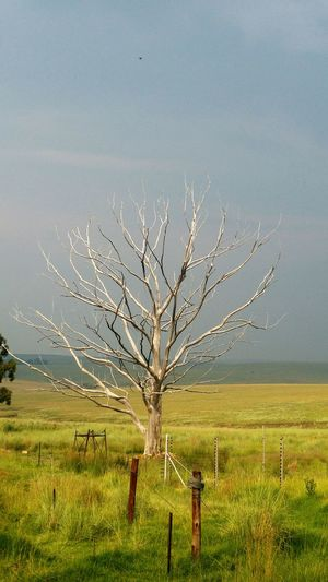 South Africa Peace And Quiet Peaceful Nature Trees And Sky Outdoor Photography Lonely End Of Life Dead Tree Tree Rural Scene Field Agriculture Sky Landscape Single Tree