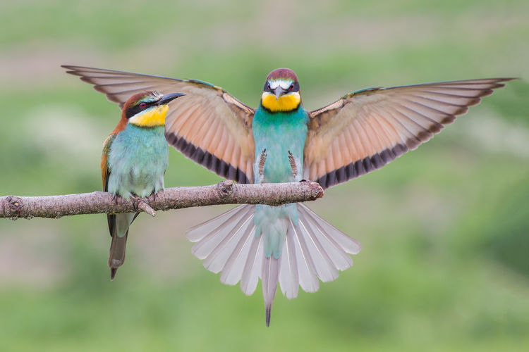 European bee-eater couple (Merops apiaster), Italy Beautiful Bee Eaters Bird Photography Colored European Bee-eater Merops Apiaster Nature Wildlife & Nature Wonderful Animal Animals Bee Eater Bird Birds Colorful Countryside Crema Europe Flying Italy Po Valley Spread Wings Wild Wildlife Wings