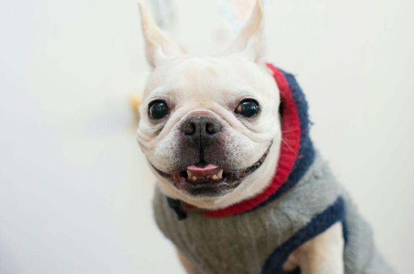 Pets Corner French Bulldog Frenchbulldog Dogs Mypets Dog Love Dogs Of EyeEm Dogoftheday Yokohama-shi I Love My Dog