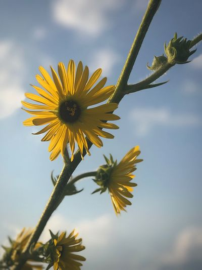 Close-up of sunflower blooming against sky