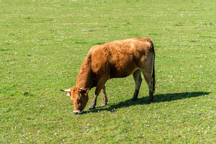 Cow grazing in the field Grass Field Land Nature Animal Mammal Animal Themes One Animal Day Vertebrate Domestic Animals Domestic Pets No People Outdoors Herbivorous Cattle Cow Grazing Farm Farmland Livestock