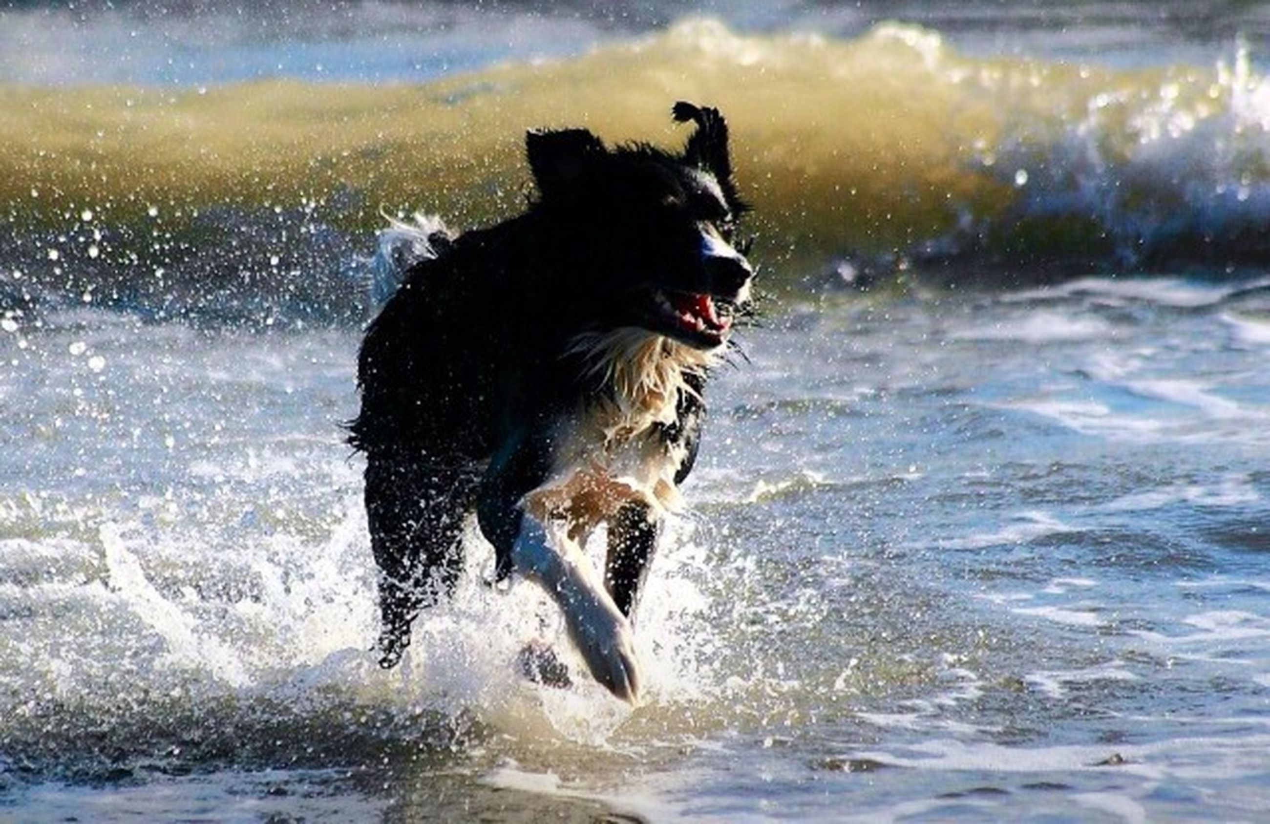 animal themes, water, one animal, dog, splashing, pets, mammal, domestic animals, motion, running, wave, waterfront, sea, surf, wet, focus on foreground, nature, black color, outdoors, day