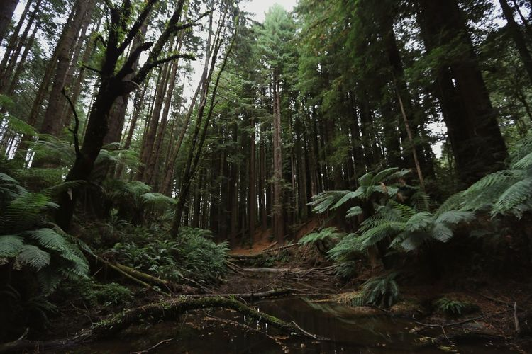 Beech Forrest, 2018 Melbourne Victoria Canon6d Natural Light Photography Documentation Nature Trees Countryvictoria Nathanccp Canon Redwoods California Redwoods Beech Forest Otways Otways National Park Great Ocean Road Digital Photography Tree Trunk Pinaceae Sky Lush - Description First Eyeem Photo