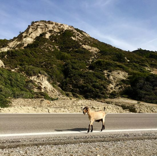 Animal Themes Beauty In Nature Domestic Animals Goat Mammal Mountain Nature No People Outdoors Pets Rhodes Road Ródos Environment On The Road On The Way