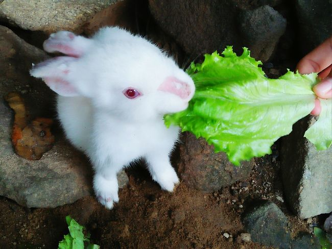Feed the rabbit Indoors  One Animal Animal Themes Human Body Part One Person Domestic Animals Human Hand Day Pets Close-up One Man Only People Adult Only Men Adults Only Mammal Feeding Animals Salad Vegetable Eye Rabbit Animal Animal Eat Animal Wildlife Rabbit Eye Cute Rabbit ,bunny