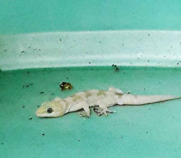 Un gecko 🐊 Animals Gecko Gecko Lizard Lagartija Gecko Geco Gekkota Gonatodes