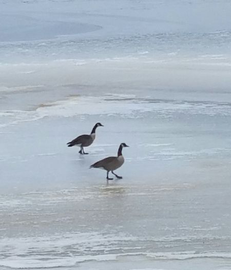 Animal Wildlife Animals In The Wild Beauty In Nature Water Bird Frozen Pond Ripples Bird Sea Idyllic Water No People Outdoors
