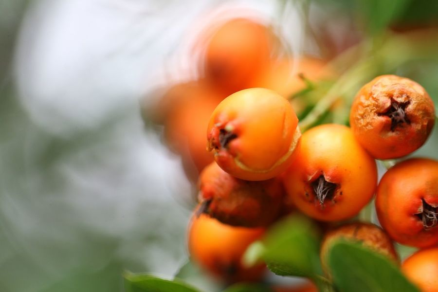 Orange Color Fruit Winter Backgrounds Agriculture Leaf Autumn Healthy Lifestyle Close-up Sweet Food Food And Drink