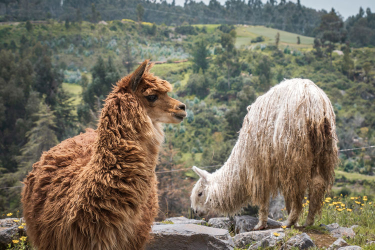Mammal Animal Themes Animal Livestock Group Of Animals Domestic Animals Two Animals Nature Tree Domestic Pets Vertebrate Land Plant Focus On Foreground Field Day No People Brown Agriculture Outdoors Herbivorous Animal Family Alpaca Alpacas