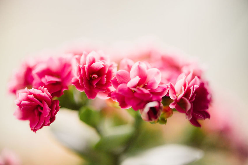 Copy Space Floralperfection Macro Beauty Beauty In Nature Bouquet Bunch Of Flowers Close-up Fineartphotography Flower Flower Arrangement Flower Head Flowering Plant Fragility Freshness Indoors  Inflorescence Nature Peony  Petal Pink Color Plant Rosé Rose - Flower Selective Focus Vulnerability