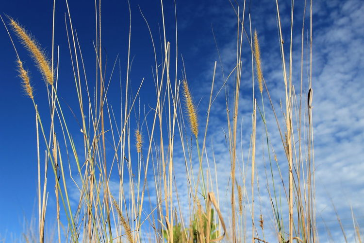 yellowing reeds in Pangkalanbun city Backgrounds Nature Photography EyeEm Best Shots EyeEmNewHere EyeEm Nature Lover Pangkalanbun Blue Sky Close-up Cloud - Sky Flower Head