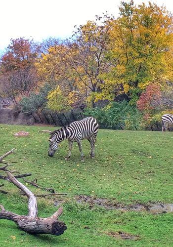 Zebra Zebras Zebra♥ Zebra <3 Zebra. Zebra The Zoo Indianapolis Zoo Zoo Zoo! Zoo Day