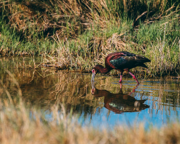 A White-faced Ibis feeding at the Bear River Migratory Bird Refuge in Northern Utah. Nature Reflection Animal Wildlife Animals In The Wild Beauty In Nature Bird Bird Refuge Grass Ibiscus Nature No People Outdoors Reflection Selective Focus Water Waterfront White-faced Ibis