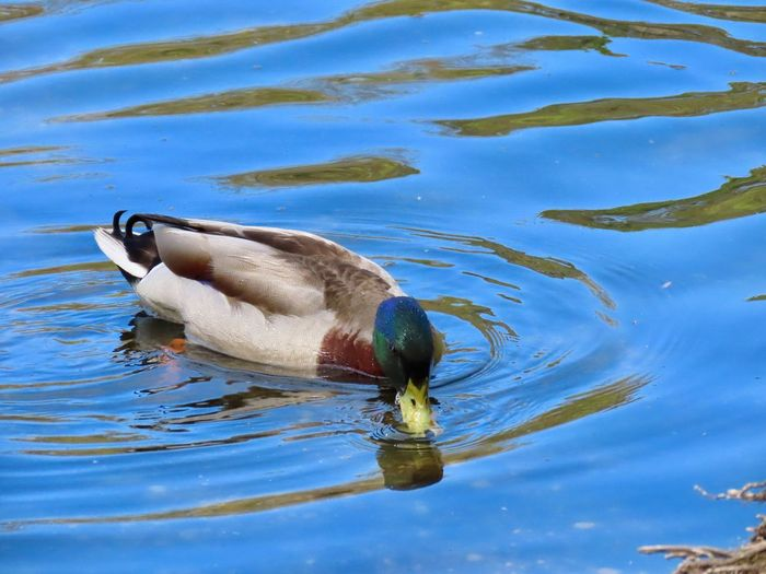 Mallard male duck swimming water ripples taking a drink close up beauty in nature outdoors animal themes Water One Animal No People