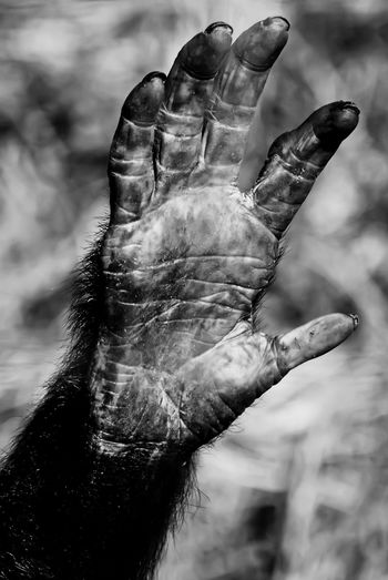 98.8% human. Nature Wildlifephotography Wildlife & Nature Wildlife Africa Uganda  Ngamba Ngambaisland Ngamba Island Chimp Chimpanzee Travel Travel Photography Travelphotography Animal Wildlife Animals In The Wild Black & White Blackandwhite Monochrome