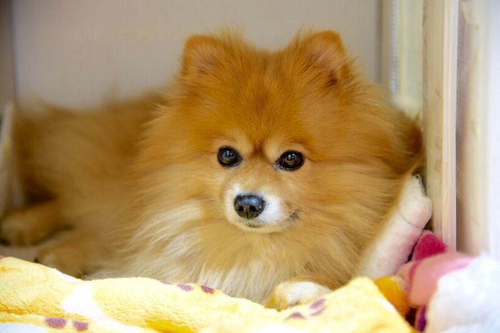 Mem (ねむ)です。よろしくどうぞ。 First Eyeem Photo ポメラニアン Pomeranian Pomeranian Nem Nikon D750