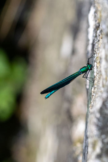 Banded demoiselle damselfly, calopteryx splendens, by the side of the river walkham, devon