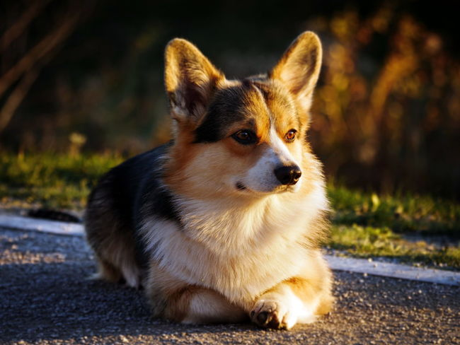One Animal Mammal Dog Canine Domestic Pets Domestic Animals Looking Away Sitting Looking Focus On Foreground Portrait No People Nature Day Close-up Road Purebred Dog Corgi
