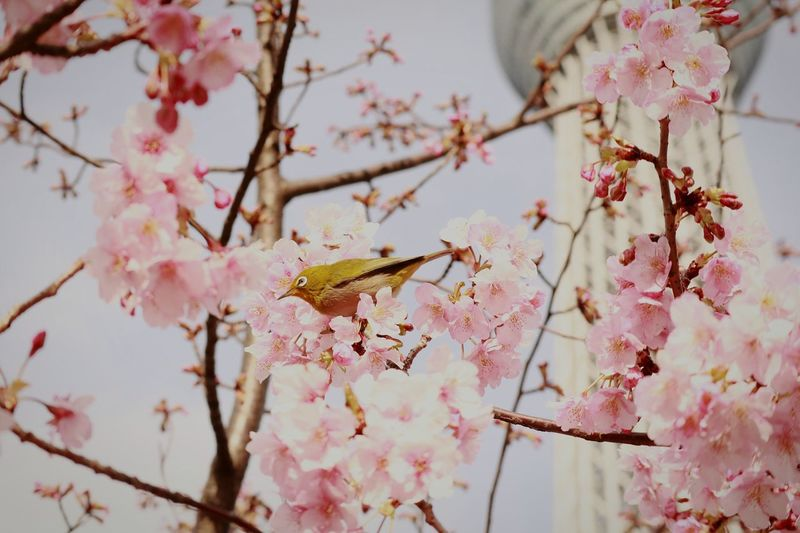 Flower Tree Nature Beauty In Nature Pink Color Springtime Close-up Pinkflower Japan Tower Tokyo Bird FlowersBlossoms  Cherryblossoms Skytree Tokyoskytree